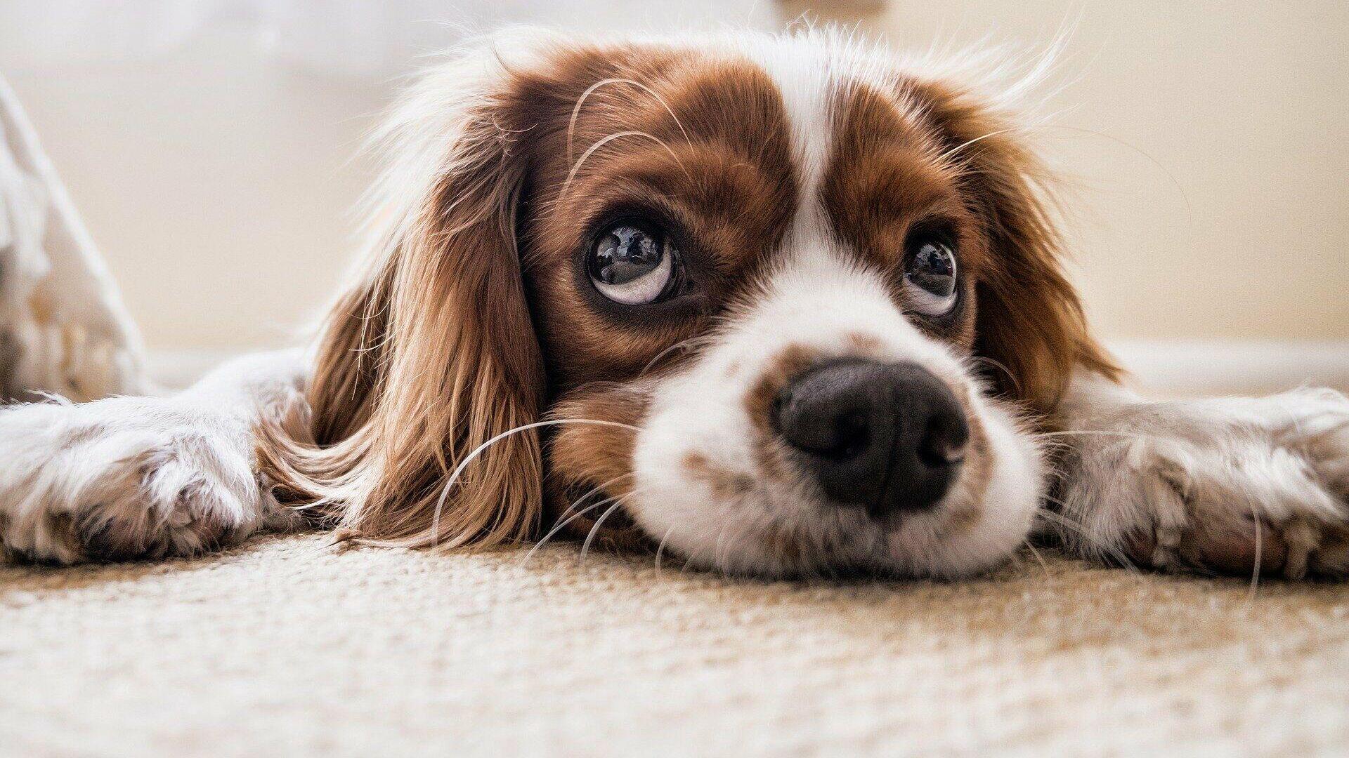 Un perro (imagen referencial) - Sputnik Mundo, 1920, 21.02.2021