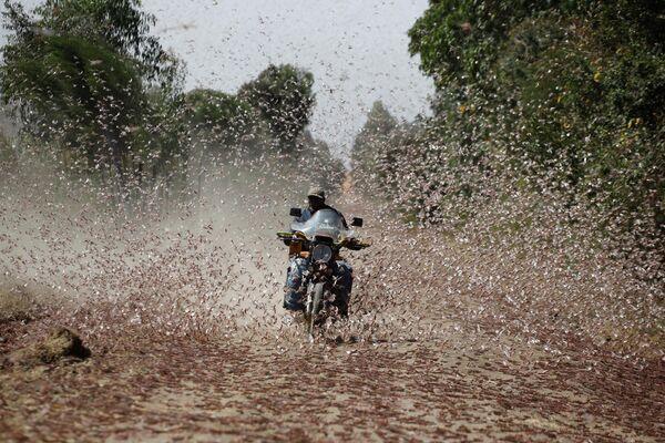 Un hombre que conduce una motocicleta atraviesa un enjambre de langostas del desierto cerca de la ciudad de Rumuruti (Kenia). - Sputnik Mundo