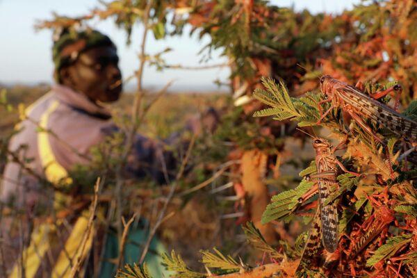Un hombre recoge langostas del desierto cerca de la ciudad de Rumuruti (Kenia). - Sputnik Mundo
