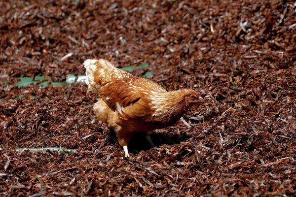 Una gallina se alimenta de langostas del desierto aplastadas y secadas en una granja cerca de la ciudad de Rumuruti (Kenia).  - Sputnik Mundo