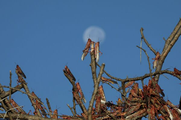 Las langostas del desierto se posan en las ramas de los árboles cerca de la ciudad de Nanyuki (Kenia).  - Sputnik Mundo