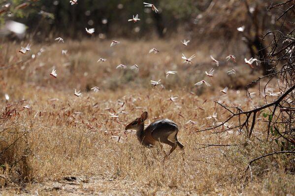 Las langostas del desierto pasan volando junto a un antílope dik-dik cerca de la ciudad de Nanyuki (Kenia).  - Sputnik Mundo