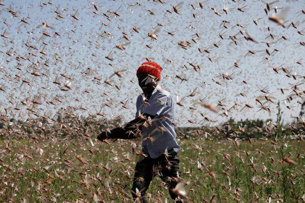 Un hombre intenta ahuyentar un enjambre de langostas del desierto de una granja cerca de la ciudad de Rumuruti (Kenia).  - Sputnik Mundo