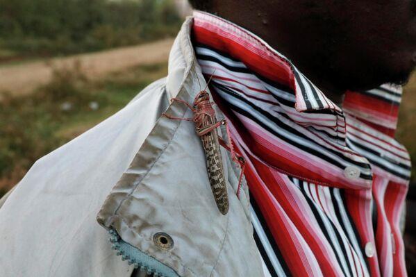 Una langosta se posa en la camisa de un hombre mientras se cosechan langostas del desierto cerca de la ciudad de Rumuruti (Kenia). - Sputnik Mundo