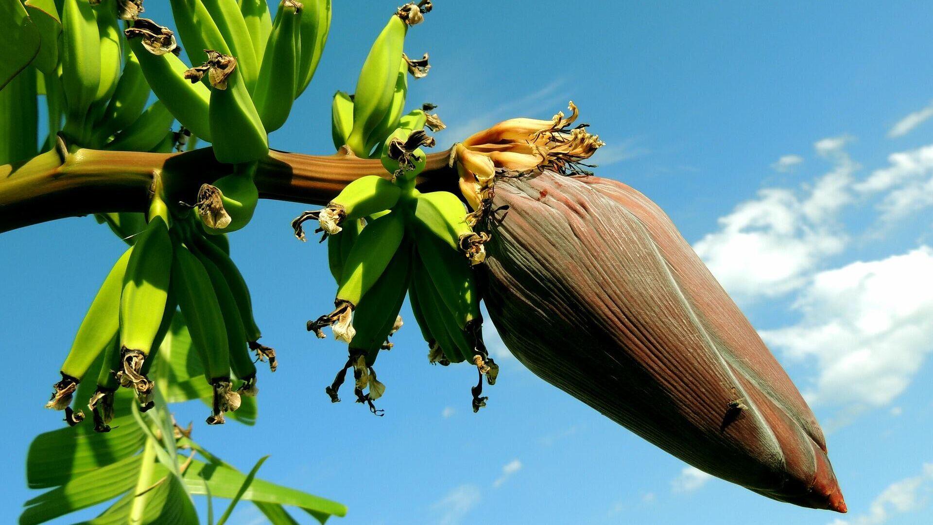 Un árbol de plátanos. Imagen referencial - Sputnik Mundo, 1920, 24.02.2021