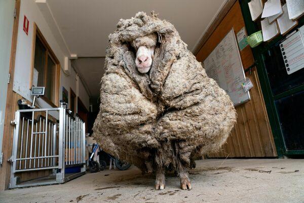 Unos voluntarios del santuario de animales australiano Edgar's Mission hallaron a una oveja solitaria, a la que nombraron Baarack, en un bosque. El animal causó impacto internacional por su aspecto, ya que no había sido trasquilado en mucho tiempo y llevaba 35 kilos de lana en su cuerpo. - Sputnik Mundo