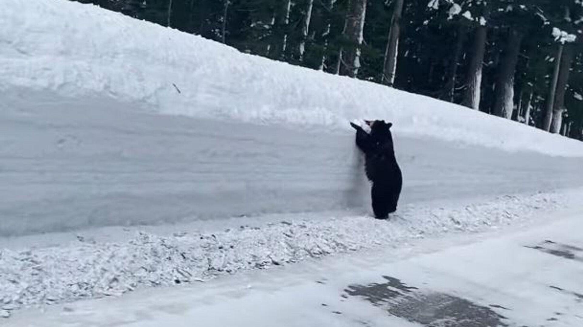 A la desesperada: un oso es acorralado por la nieve en la carretera - Sputnik Mundo, 1920, 03.03.2021