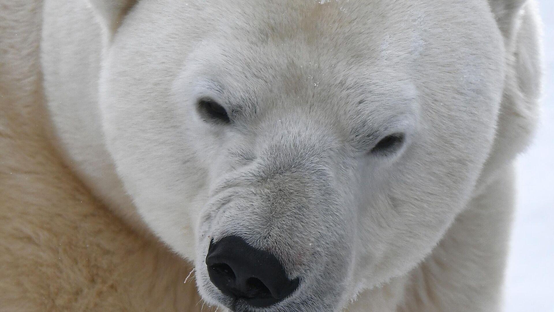 Un oso polar - Sputnik Mundo, 1920, 02.03.2021