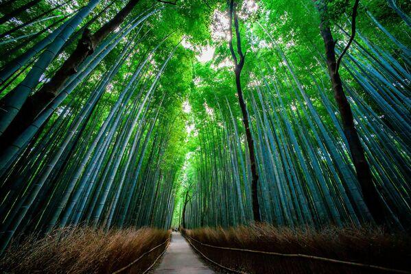 El bosque de bambú de Sagano se encuentra en Japón, al oeste de Kioto y en la región de Arashiyama. Los senderos que atraviesan las arboledas son ideales para caminar o andar en bicicleta. El Gobierno japonés ha incluido en la lista de 'cien sonidos imprescindibles para preservar en Japón' el que hace el bambú que crece en el bosque cuando se balancea con el viento. - Sputnik Mundo