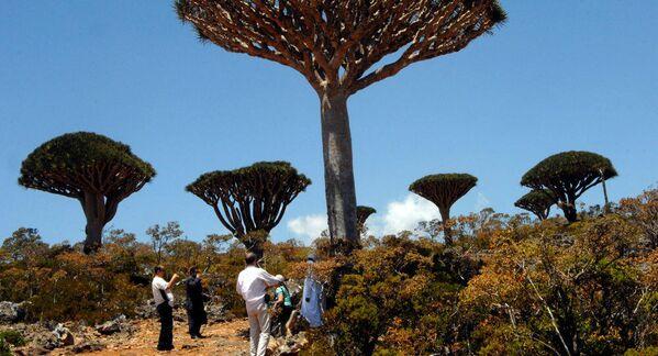 Los bosques de 'Dracaena cinnabari', o árboles de sangre de dragón, cubren las islas Socotra, en Yemen. Estos árboles recibieron su nombre debido a la savia roja, que todavía se usa como tinte y en medicina. - Sputnik Mundo