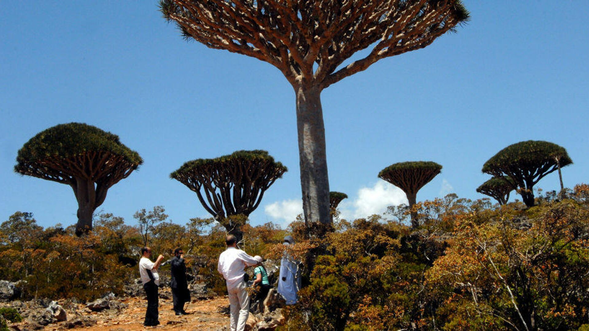 Los bosques de 'Dracaena cinnabari', o árboles de sangre de dragón, cubren las islas Socotra, en Yemen - Sputnik Mundo, 1920, 03.03.2021