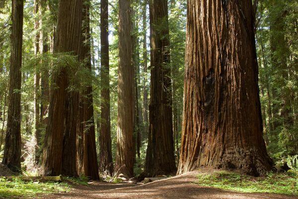 Otro bosque de dimensiones colosales es la arboleda de secuoyas gigantes del Parque nacional de las Secuoyas, en California. Ocupa una superficie de unos 5.000 metros cuadrados. - Sputnik Mundo