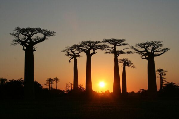 La Alameda de los baobabs, en Madagascar, está formada por baobabs que crecen en grupos de entre 20 y 25 ejemplares a lo largo de un camino de tierra en la región de Menabe, en el oeste de la isla. Estos gigantes de 30 metros se han convertido en una atracción turística en la región. - Sputnik Mundo