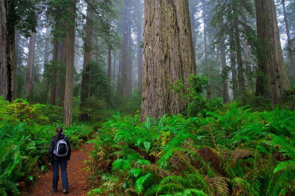 El Parque Nacional Redwood se extiende por más de 60 km a lo largo de la costa de California. Aquí se conservan los árboles más altos del mundo. Además, el macizo forestal protege con su poder los bosques de robles, vastas praderas y vías fluviales salvajes. - Sputnik Mundo