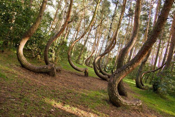 El bosque torcido en Nowe Czarnowo, Polonia, es una arboleda de 100 pinos curiosamente curvados, plantados alrededor de 1930 en lo que entonces era la provincia alemana de Pomerania. La forma de los árboles es probablemente una consecuencia de la influencia antropogénica, pero no se conoce ni su propósito ni su método. Quizás el objetivo de la deformación era producir madera curvada para su uso en la fabricación de muebles o en la construcción de barcas. - Sputnik Mundo