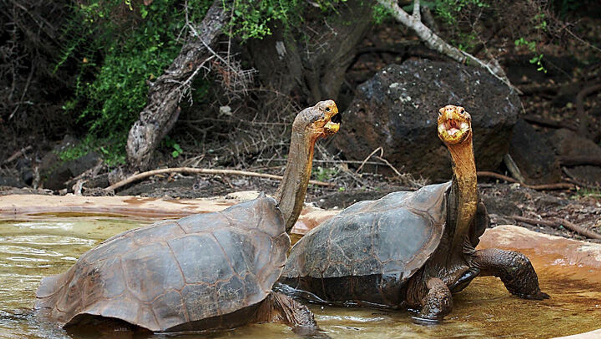 Tortugas de la especie Chelonoidis hoodensis - Sputnik Mundo, 1920, 03.03.2021