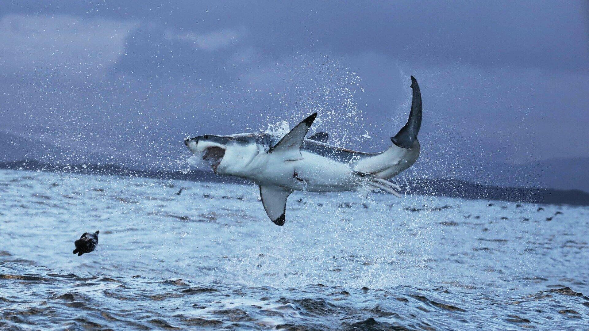 Un gran tiburón blanco - Sputnik Mundo, 1920, 05.03.2021