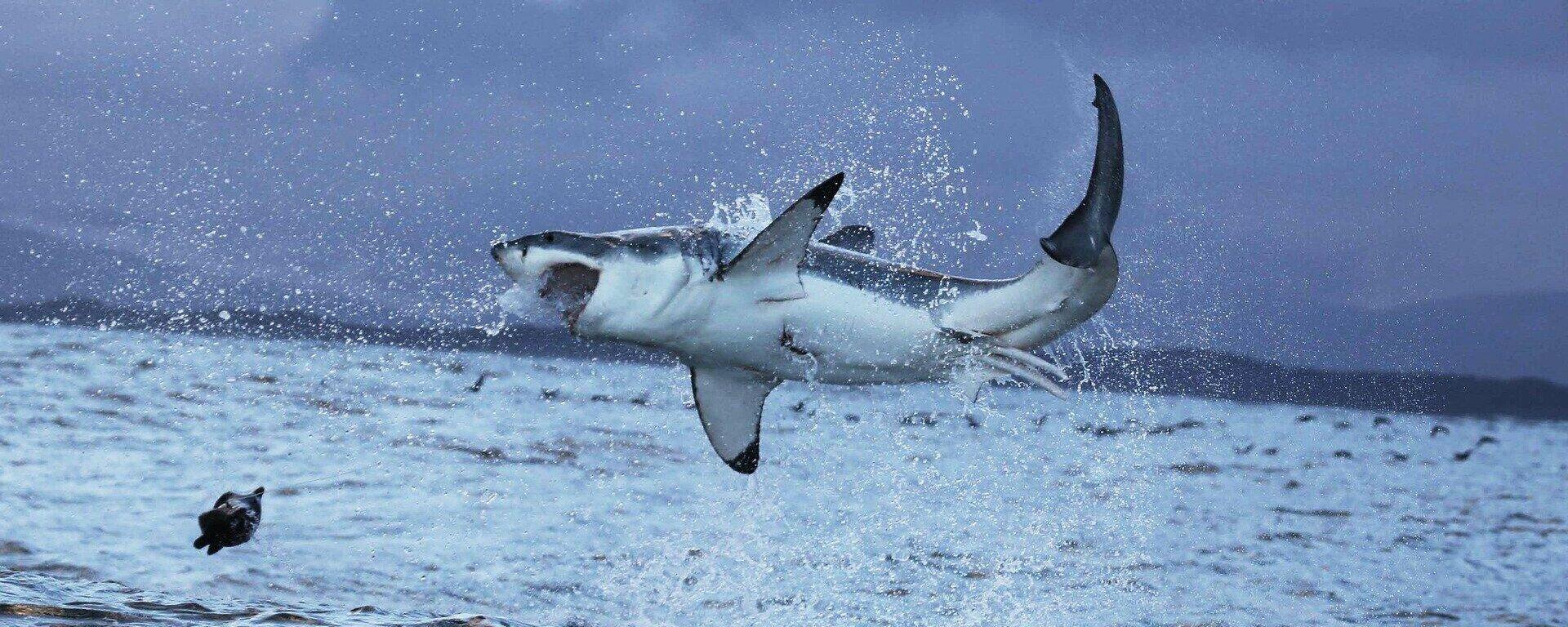 Un gran tiburón blanco - Sputnik Mundo, 1920, 02.07.2021