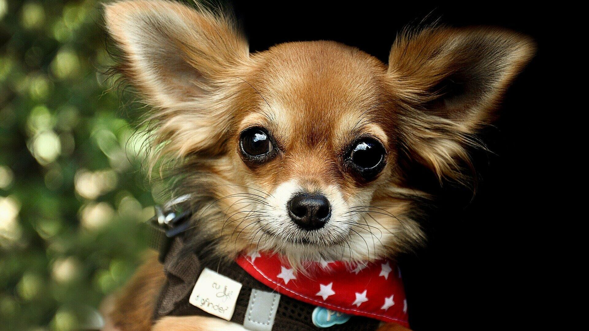 Un perro chihuahua - Sputnik Mundo, 1920, 06.03.2021