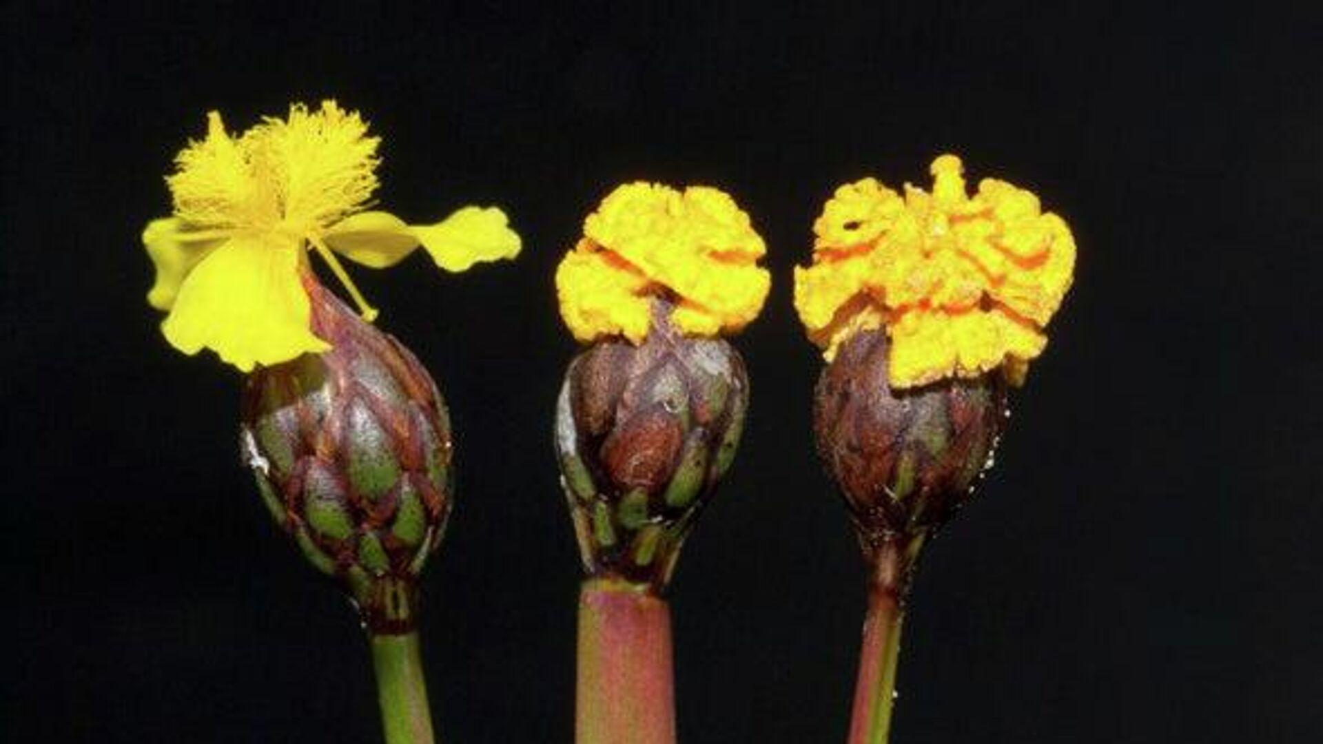 El hongo con forma de flor: Fusarium xyrophilum - Sputnik Mundo, 1920, 11.03.2021
