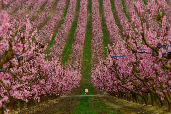 Un niño pasea entre los árboles en flor en un melocotonar situado en Aitona, España. - Sputnik Mundo