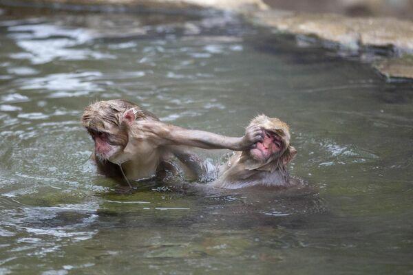 Unos macacos japoneses se bañan en una fuente caliente en el parque de monos Jigokudani en la prefectura de Nagano. - Sputnik Mundo
