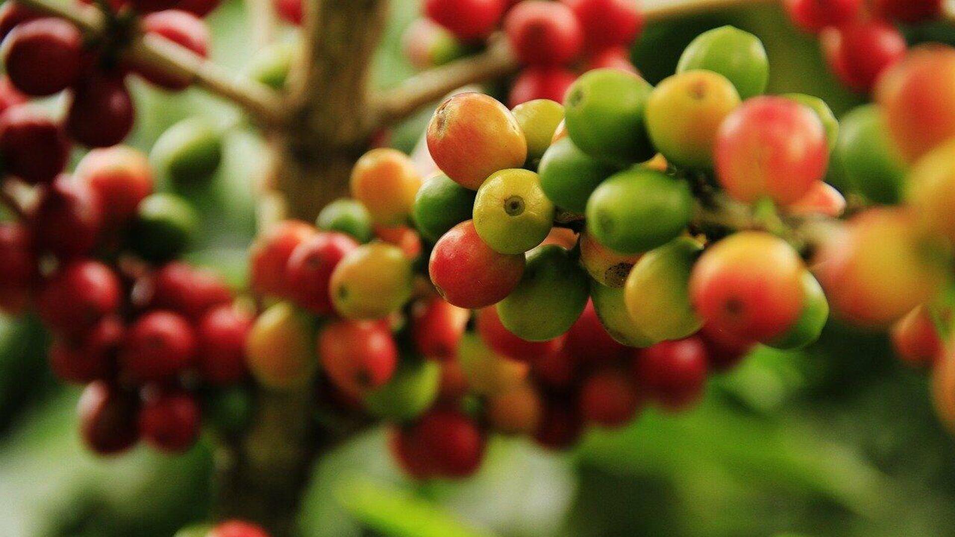 Cultivos de café - Sputnik Mundo, 1920, 14.03.2021
