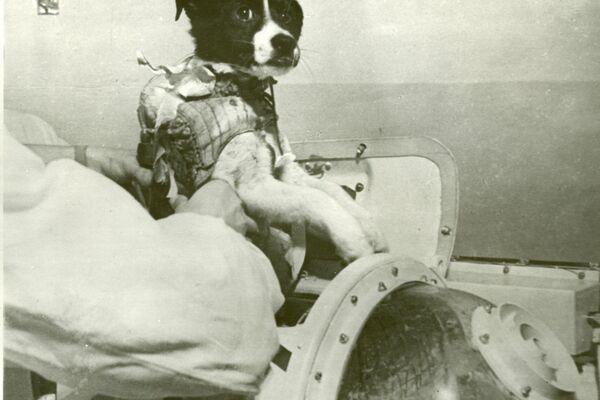 Preparaciones para el vuelo de dos perros, Veterok y Ugoliok, al espacio en 1966 - Sputnik Mundo