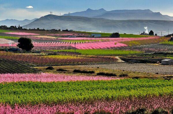 Floración en Cieza (Murcia) - Sputnik Mundo