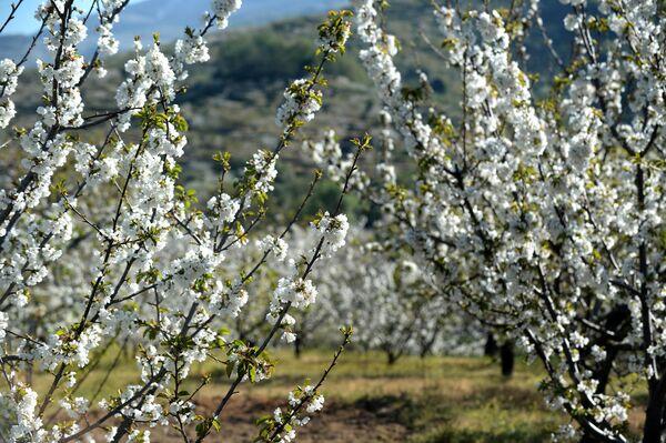 Cerezos en flor en el Valle del Jerte (Cáceres) - Sputnik Mundo