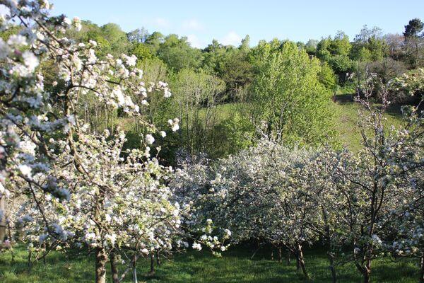 Manzanos en flor en Asturias - Sputnik Mundo