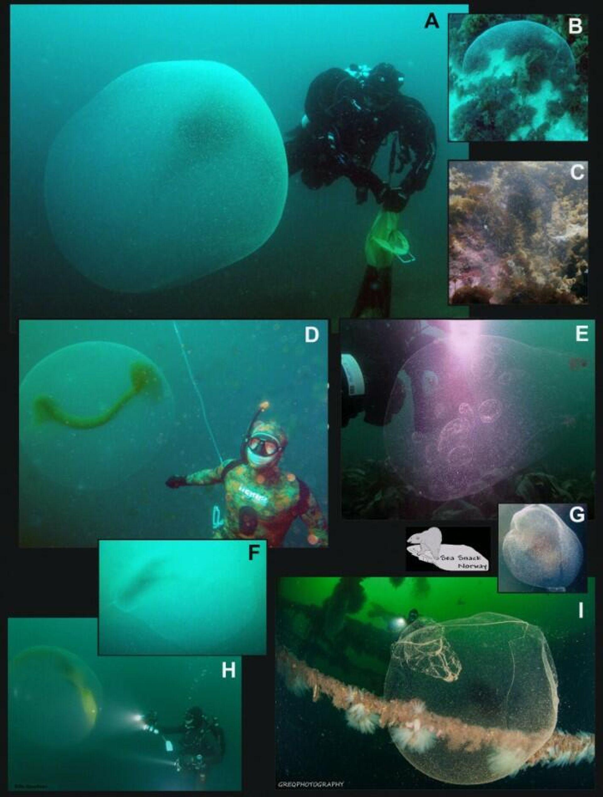 Sacos de huevos del calamar Illex Coindetii - Sputnik Mundo, 1920, 04.04.2021