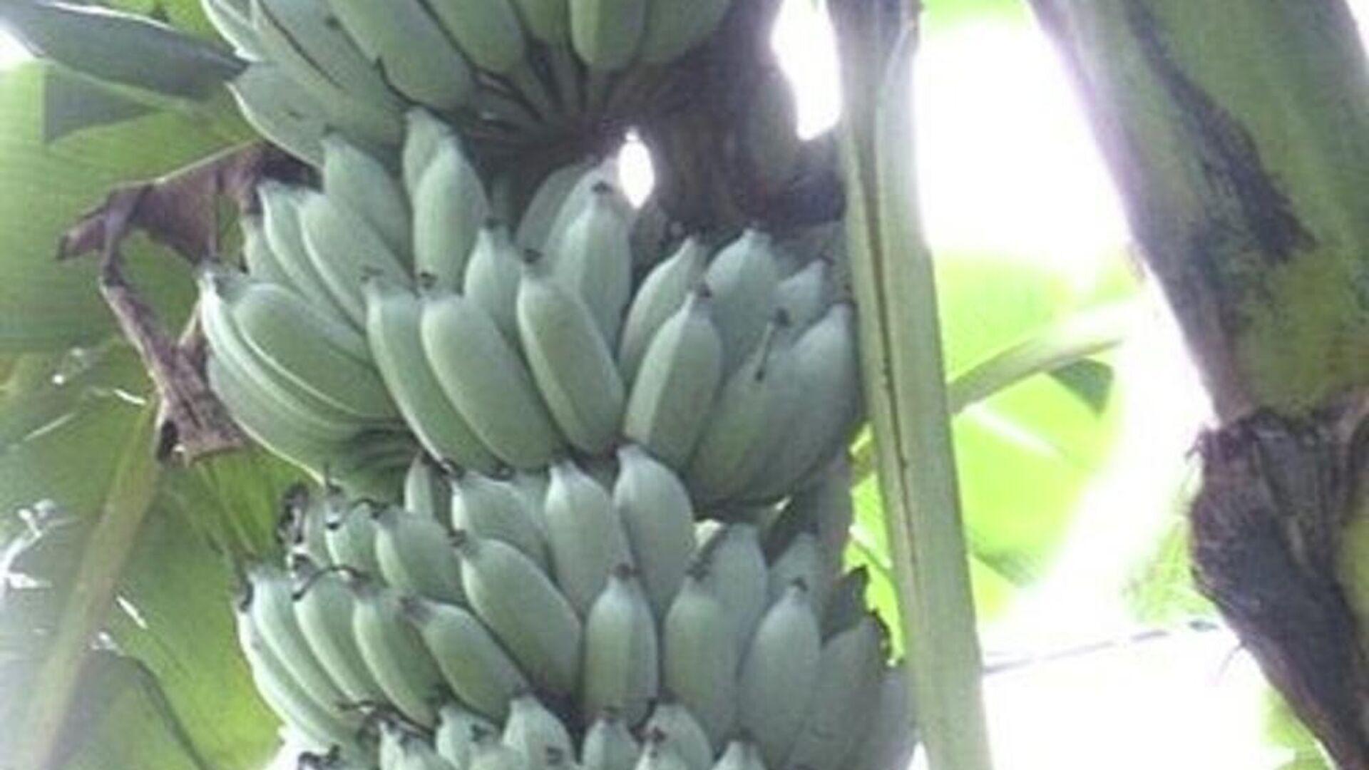 Banana azul de Java - Sputnik Mundo, 1920, 06.04.2021