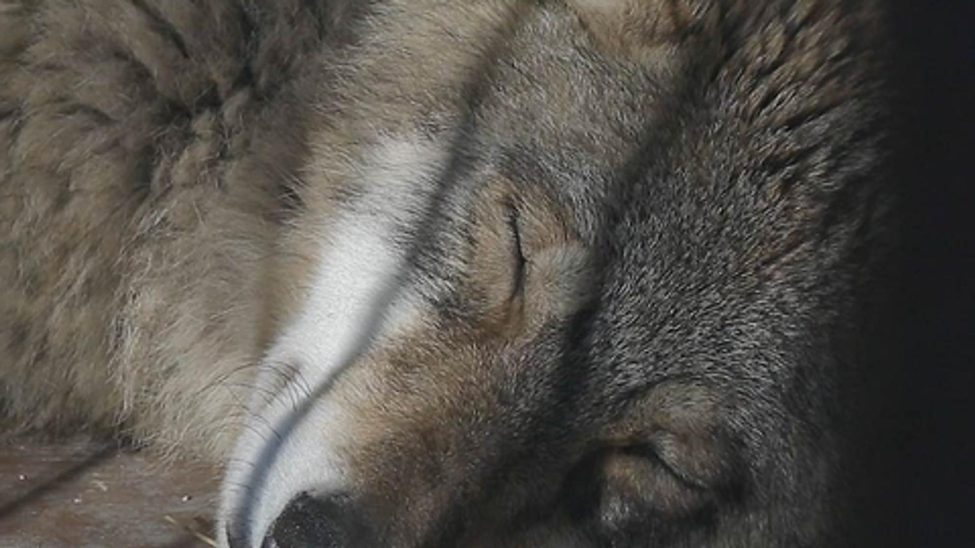 Un lobo del santuario de Andréi Musienko - Sputnik Mundo, 1920, 07.04.2021