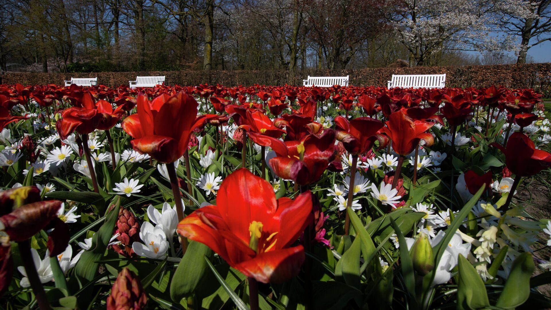 El Parque Real de Flores de Países Bajos, Keukenhof - Sputnik Mundo, 1920, 08.04.2021