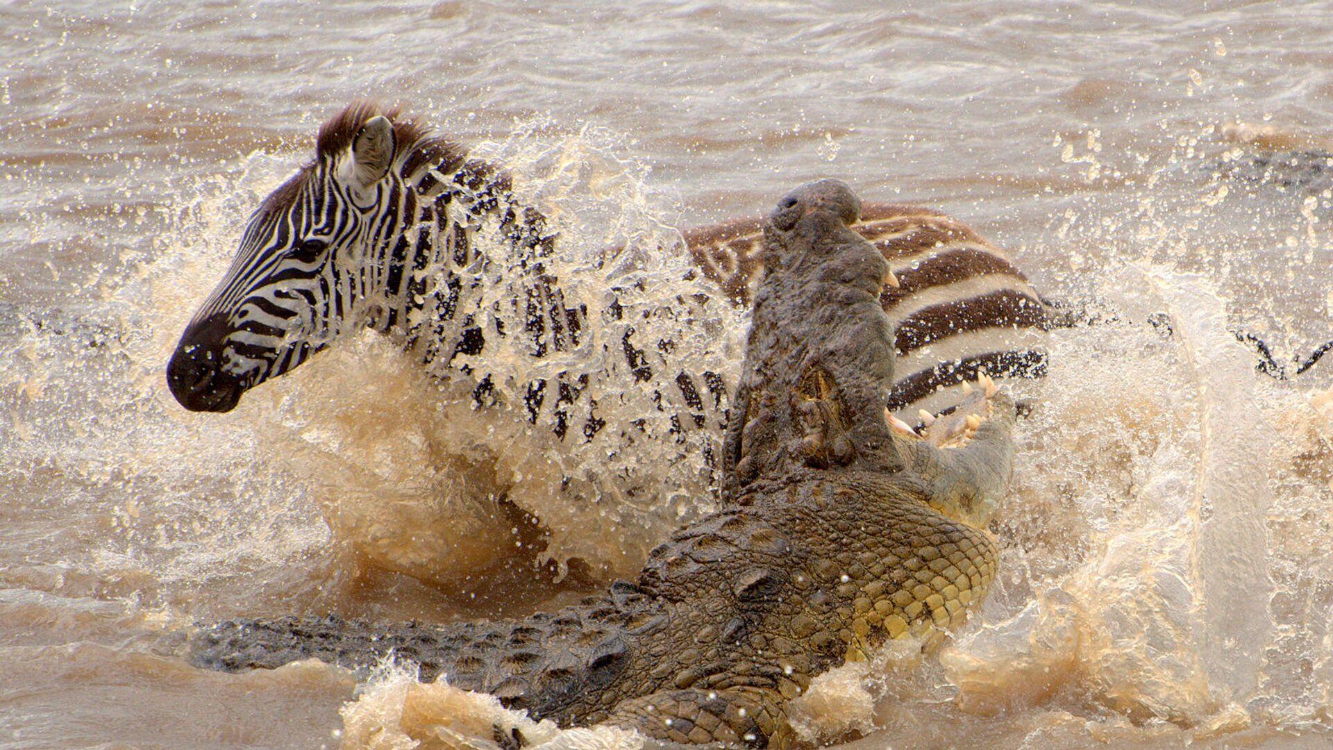 Cocodrilo atacando a una cebra en Masái Mara (Kenia) - Sputnik Mundo, 1920, 09.04.2021