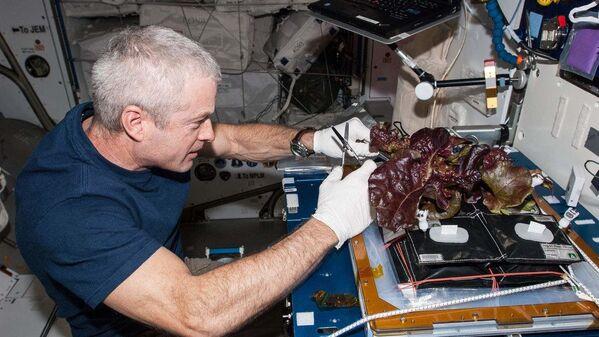 El astronauta de la NASA Steve Swanson recolecta una cosecha de plantas de lechuga romana roja que fueron cultivadas a partir de semillas dentro de las instalaciones Veggie de la Estación Espacial Internacional.  - Sputnik Mundo
