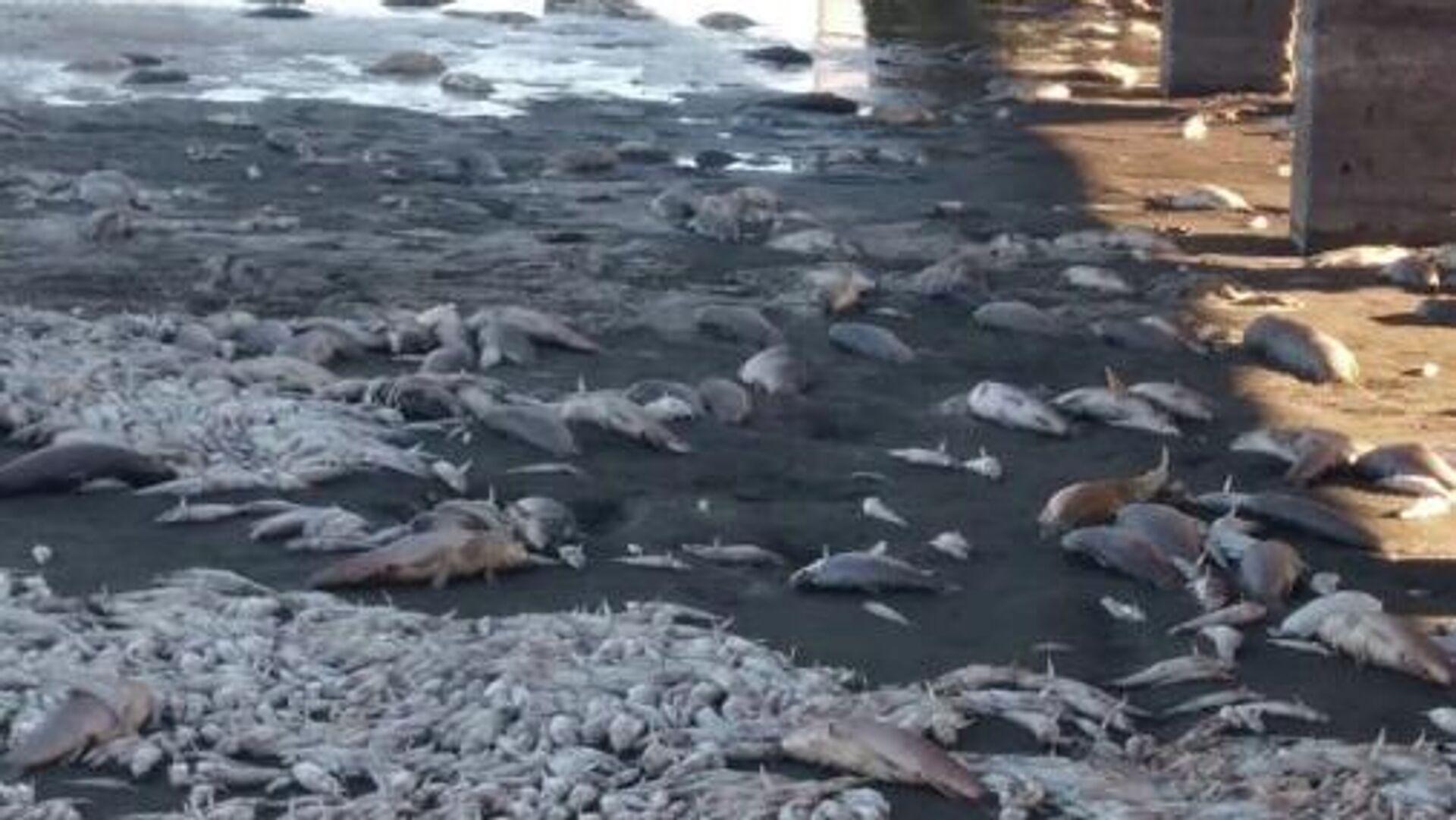 Miles de peces aparecen muertos en una laguna de Argentina - Sputnik Mundo, 1920, 13.04.2021