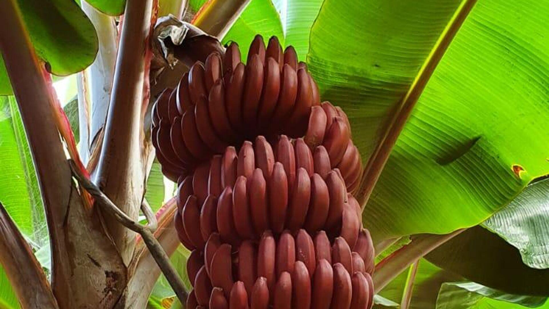 Plátanos rojos de Tenerife - Sputnik Mundo, 1920, 15.04.2021
