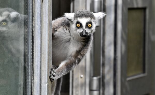 Un lemur en el zoológico de Duisburgo (Alemania). - Sputnik Mundo