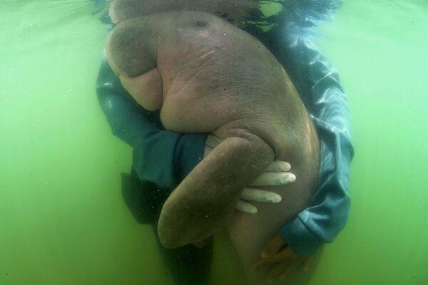 Un veterinario y un dugongo llamado Mariam en el Centro Biológico Marino de Phuket, en la isla de Libong, Tailandia. - Sputnik Mundo