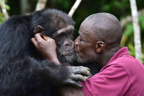 Ponso, el único superviviente de los 20 chimpancés reubicados desde Liberia a la Isla de los Chimpancés en Costa de Marfil. Los animales fueron trasladados aquí en 1983 para realizar investigaciones médicas. - Sputnik Mundo