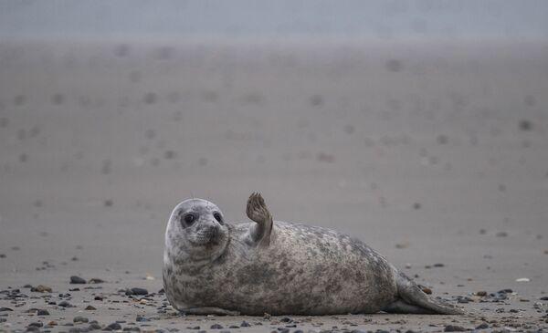 Foca gris en la isla de Helgoland en el Mar del Norte. - Sputnik Mundo