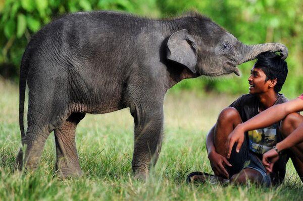 Cría de elefante de Sumatra en la Reserva del Ecosistema de Leuser en Sumatra, Indonesia. - Sputnik Mundo
