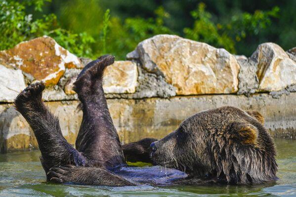 Un oso pardo en una piscina en la reserva cerca del pueblo de Marble, Kosovo. - Sputnik Mundo