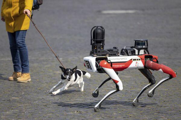 Spot, un perro robot, pasa al lado de un perro real en la plaza de la Catedral de Erfurt (Alemania). - Sputnik Mundo