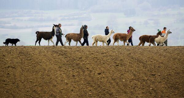 Una familia pasea con sus alpacas en Waldhausen (Alemania). - Sputnik Mundo