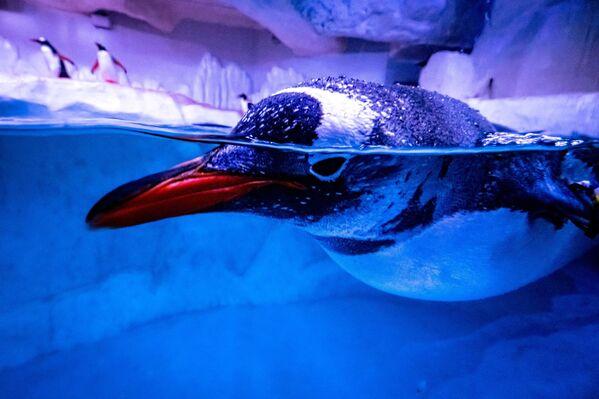 Un pingüino nada en su recinto en el acuario Sea Life Bangkok Ocean World en Bangkok (Tailandia). - Sputnik Mundo