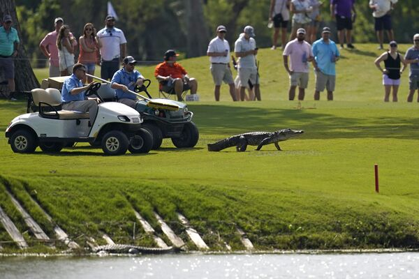 Los participantes del torneo de golf intentan ahuyentar a un gigantesco cocodrilo del campo. - Sputnik Mundo