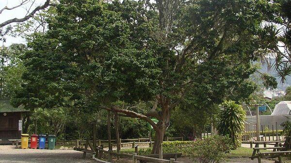 El árbol Caesalpina Echinata - Sputnik Mundo
